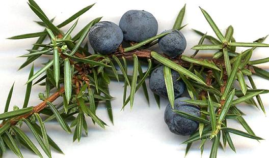 Brinove jagode – Zakladi doline Mirne